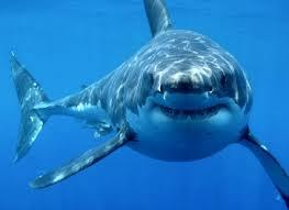Photo credit: Sharkfacts.org